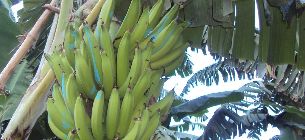 Cameroon : Producers cautioned against dreaded banana/plantain disease